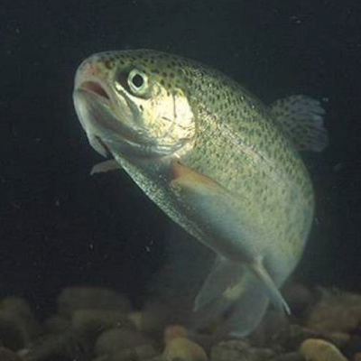 Plan to restore trout-stocking program at Willow Beach identified